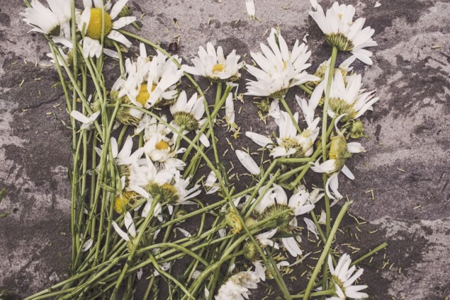 flowers-marguerites-withered-2009-824x550